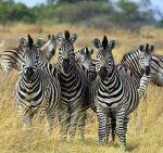 220px-Zebra_Botswana_edit02